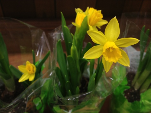 Daffodils from Trader Joe's